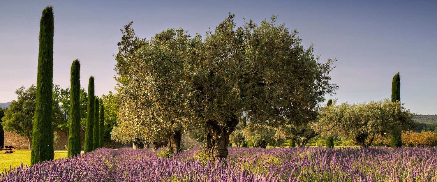 Typical purple lavender field