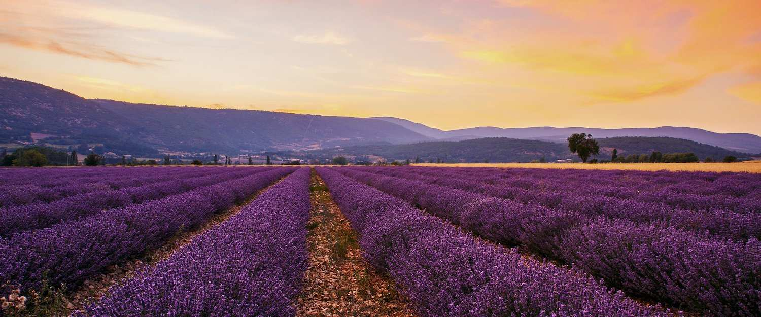 The famous lavender fields in Provence